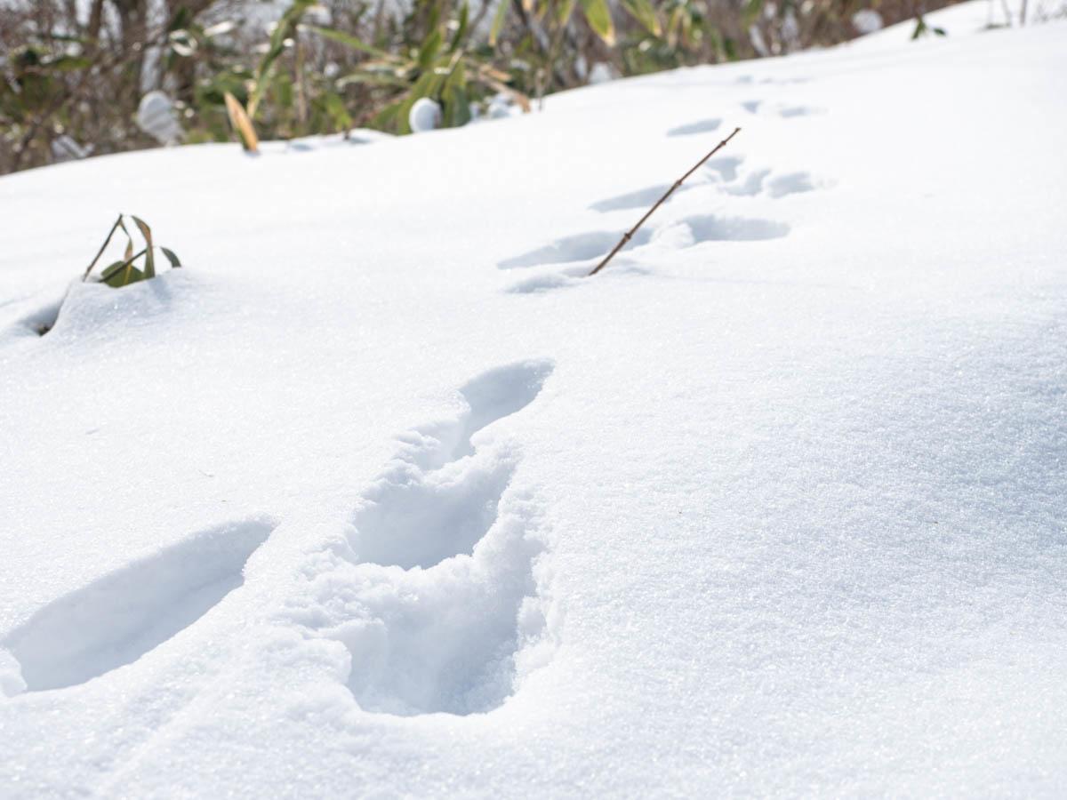 雪の上にあるウサギの足跡