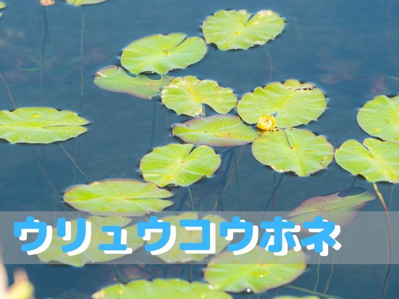 雨竜沼湿原 ウリュウコウホネ